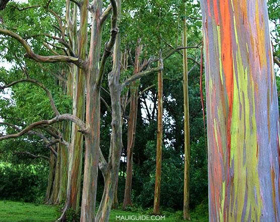 rainbow eucalptus