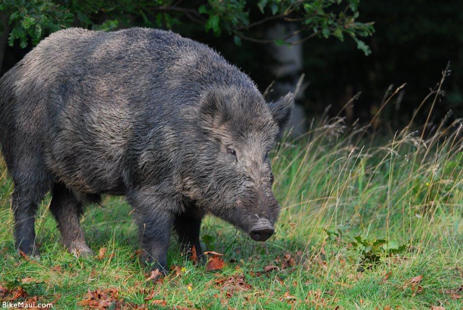 large Hawaii hog