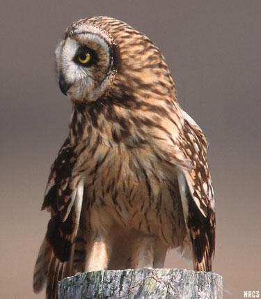 Maui Hawaii owl
